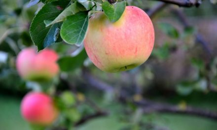 Obstgarten: Der Haba Spieleklassiker für die Jüngsten