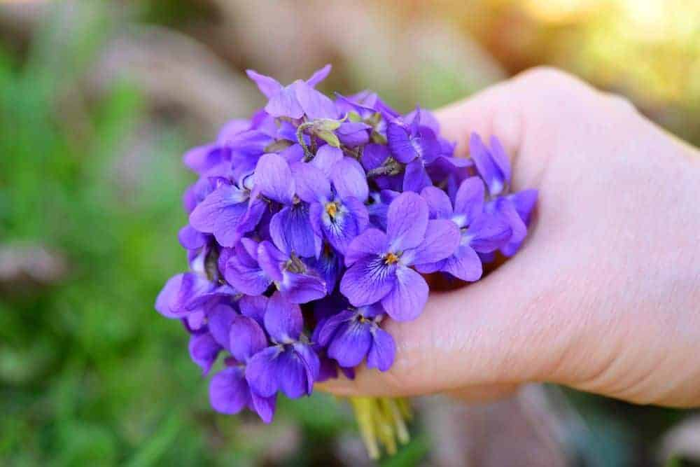 Veilchen (Violae odoratae Radix) Wurzel vom Veilchen als Rohstoff für Parfüm oder Kosmetik